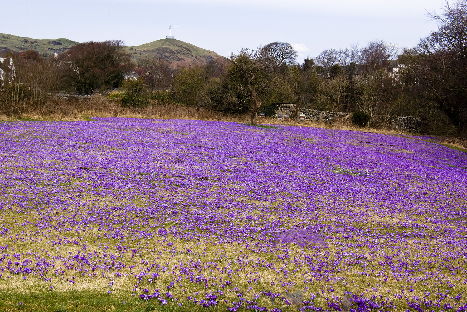 picture shows a field of purple crocus