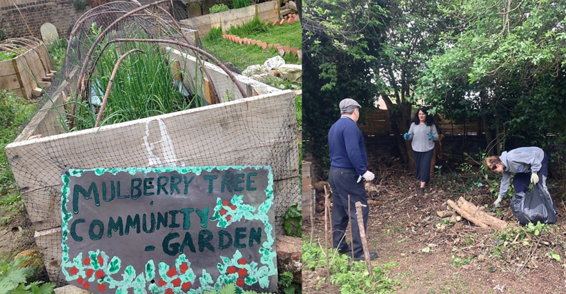 Picture of Mulberry Community garden and some people gardening in it