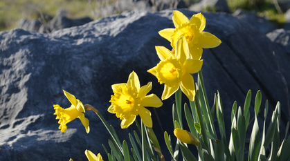 Daffodils in front of a stone
