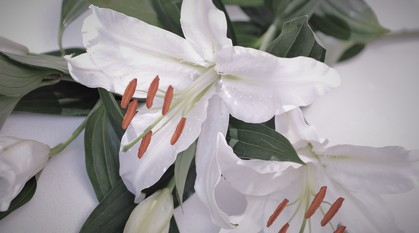 close up of white lilies with grey shadows round the edges