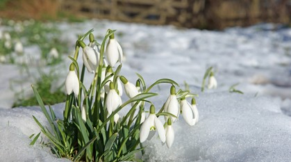 Snowdrops in thawing snow